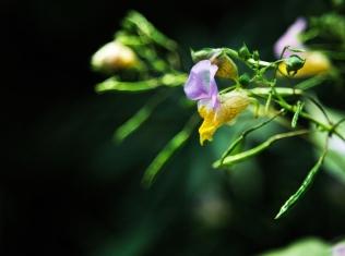 LilacOrchid