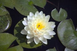 WaterLilyBee