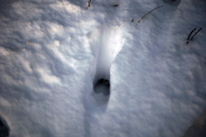 Deer print in snow